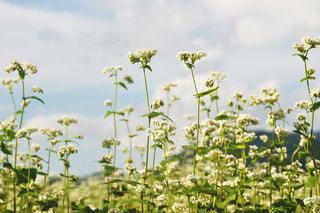 花,秋,植物,白,雲,青空,秋空,蕎麦畑,蕎麦の花,フォトジェニック