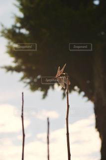 風景,空,秋,庭,雲,青空,枝,光,樹木,虫,トンボ,昆虫,秋空,フォトジェニック,陽ざし,西空