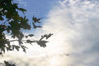 風景,空,秋,紅葉,庭,屋外,雲,青空,枝,もみじ,虫,トンボ,昆虫,秋空,西空