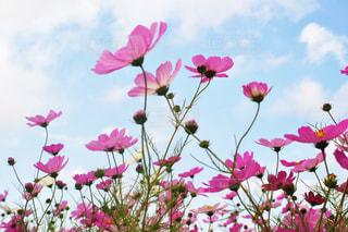 空,花,秋,屋外,ピンク,植物,コスモス,雲,青空,富山県,秋空,砺波市,夢の平スキー場,となみ夢の平スキー場