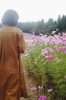 コスモス畑を歩くの写真・画像素材[1526887]