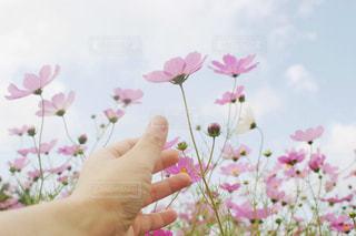 空,花,秋,ピンク,コスモス,手,未来,夢,成長,ポジティブ,希望,掴む,目標,向上心,可能性,上を向く,届く