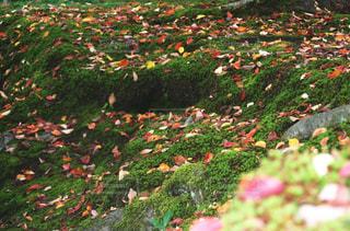 秋,紅葉,屋外,緑,カラフル,観光地,葉,落ち葉,苔,庭園,石川県,金沢,兼六園,11月,多色