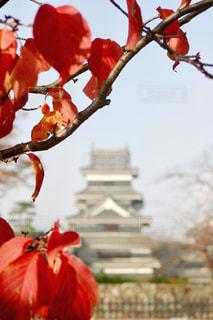 空,秋,紅葉,屋外,赤,観光地,葉,城,松本市,松本城,11月,お出かけ