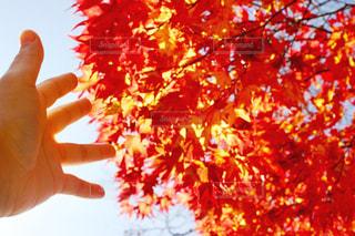 紅葉狩りの写真・画像素材[1619346]