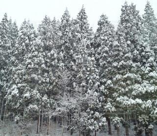 冬,雪,屋外,白,樹木,杉,積もる,吹雪,スギ,ホワイトカラー,白山市
