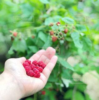 夏,庭,緑,赤,手,ガーデニング,フルーツ,果実,ベリー,新鮮,収穫,ラズベリー,食材,フレッシュ,フランボワーズ,自家栽培,採りたて