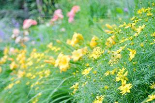 花,ピンク,カラフル,紫,黄色,パープル,イエロー,黄,yellow,ガーデン,多色,氷見あいやまガーデン