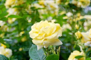 花,緑,黄色,バラ,葉,薔薇,黄,yellow,ガーデン,氷見あいやまガーデン