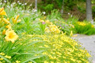 花,緑,黄色,小道,イエロー,黄,フリージア,yellow,ガーデン,氷見あいやまガーデン