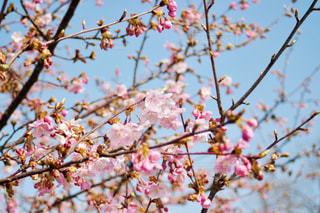 空,公園,花,春,桜,屋外,ピンク,水色,花見,お花見,河津桜,木場潟公園