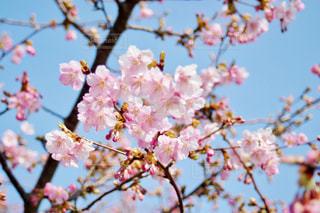 空,花,春,桜,屋外,ピンク,水色,花見,お花見,河津桜,木場潟公園