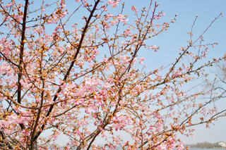 空,公園,春,桜,屋外,ピンク,青空,水色,花見,樹木,お花見,河津桜,木場潟公園