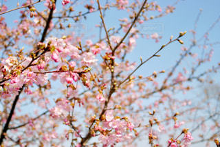 空,公園,花,春,桜,屋外,ピンク,青空,水色,花見,樹木,つぼみ,お花見,蕾,河津桜,木場潟公園