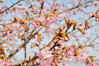空,公園,花,桜,屋外,ピンク,青空,水色,花見,樹木,つぼみ,お花見,蕾,河津桜,木場潟公園