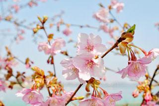 空,公園,花,春,桜,屋外,ピンク,青空,水色,花見,樹木,河津桜,木場潟公園
