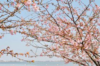 空,春,桜,屋外,ピンク,青空,水色,花見,樹木,つぼみ,お花見,蕾,河津桜,木場潟公園,木場潟