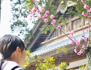 梅の花と少女の写真・画像素材[1871425]