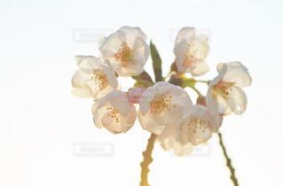 桜の写真・画像素材[2062173]