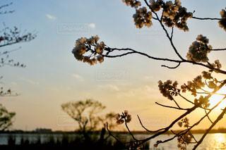 夕暮れ時の桜の写真・画像素材[2062197]