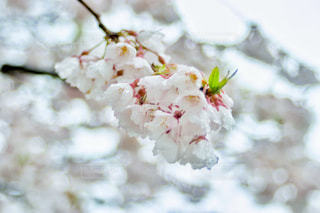 花,春,桜,雨,ピンク,緑,白,水,フラワー,水滴,葉,花びら,キラキラ,水玉,雫,玉ボケ,ボケ,しずく,blossom,荘川桜,平成最後の日