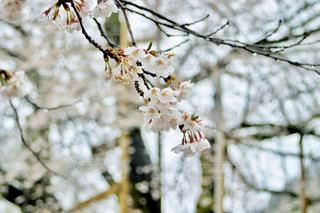荘川桜の写真・画像素材[2107570]