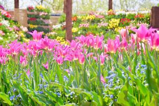 公園,花,春,屋外,ピンク,緑,植物,赤,白,青,黄色,チューリップ,壁,可愛い,回廊,富山県,黄,パステルカラー,複数,砺波チューリップ公園,おしゃれ,ファンシー,多色,花の大谷