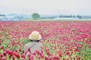 クリムソンクローバーのお花畑の写真・画像素材[2129481]