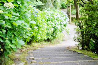 紫陽花の道の写真・画像素材[2205348]