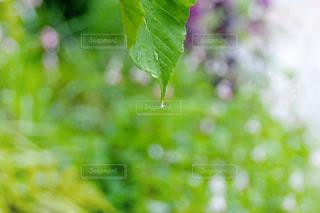 雨,庭,屋外,緑,植物,水,葉っぱ,水滴,葉,キラキラ,雫,グリーン,梅雨,玉ボケ,ボケ,天気,葉脈,しずく,雨の日
