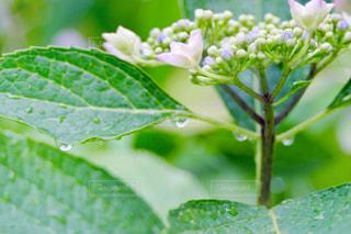 雨,庭,屋外,緑,植物,葉っぱ,水滴,葉,紫陽花,キラキラ,グリーン,梅雨,玉ボケ,ボケ,天気,葉脈,アジサイ