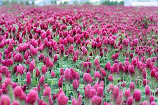 花,雨,屋外,緑,植物,赤,葉っぱ,水滴,葉,グリーン,玉ボケ,ボケ,畑,天気,雨の日,クリムソンクローバー