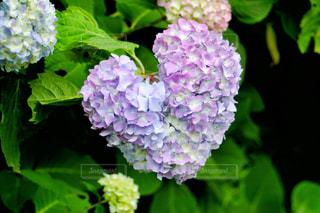 花,屋外,ピンク,緑,植物,あじさい,紫,葉,鮮やか,ハート,紫陽花,ブルー,6月,♡,マーク,アジサイ