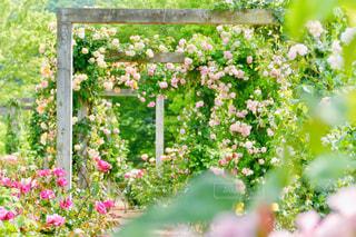 公園,屋外,ピンク,植物,カラフル,バラ,葉,鮮やか,樹木,ハート,アーチ,イエロー,グリーン,♡,黄,パステルカラー,マーク,ガーデン,花フェスタ記念公園