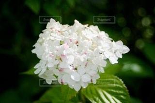 白いアジサイの写真・画像素材[3460198]