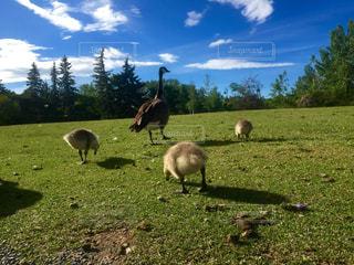 緑豊かな緑の草原で放牧の羊のグループの写真・画像素材[724147]