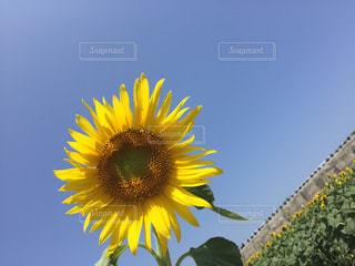 黄色の花 - No.705345