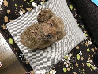 ソファの上に座っている犬の写真・画像素材[973741]