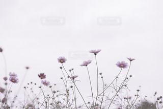 曇りの日にピンクの花のグループの写真・画像素材[1513951]
