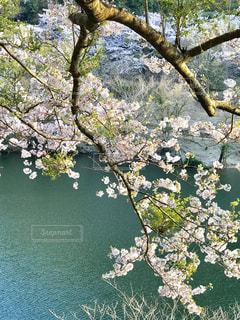 花,春,桜,屋外,ピンク,草原,景色,樹木,草木,春爛漫