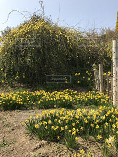 花,春,屋外,草原,黄色,景色,樹木,草木,春爛漫,ロウバイ,茂る,水仙の丘