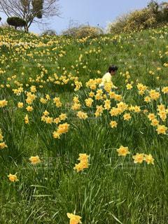 花,春,屋外,黄色,景色,草木,春爛漫,ガーデン,茂る,水仙の丘