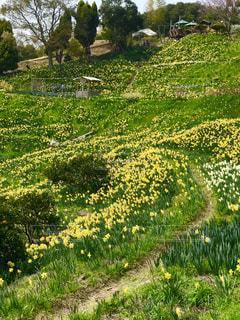 花,春,屋外,草原,黄色,景色,樹木,草木,春爛漫,ガーデン,茂る,水仙の丘