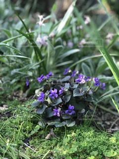 紫の花の黒葉すみれの写真・画像素材[1132387]