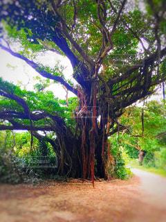 緑,植物,沖縄,旅行,ガジュマルの樹