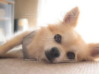 近くにベッドの上で横になっている犬のアップの写真・画像素材[974785]