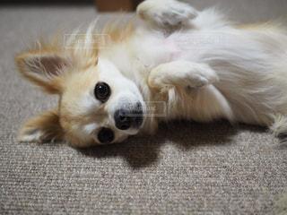 地面に横たわっている茶色と白犬の写真・画像素材[974822]