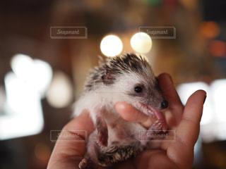 手で小さな齧歯動物の写真・画像素材[982521]