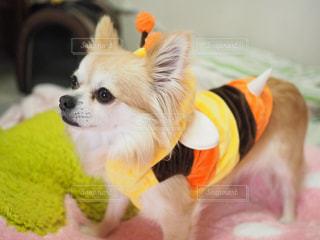 茶色と白の小型犬の写真・画像素材[982538]