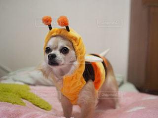 ベッドの上に座ってオレンジと白犬の写真・画像素材[982539]